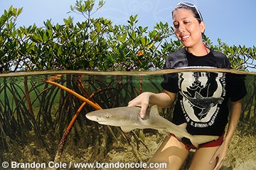 photo qa33027-D. woman (model released) from Bimini Biological Field Station inspects young Lemon Shark (Negaprion brevirostris) captured in mangroves.