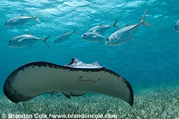 nr1200-D. Southern Stingray (Dasyatis americana) and jacks in Hol Chan Marine Reserve, Belize