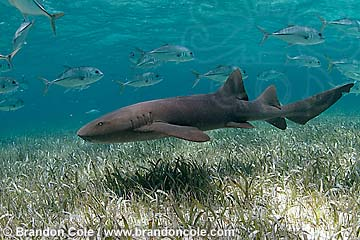 nr1209-D. Atlantic Nurse Shark (Ginglymostoma cirratum). Shark Ray Alley, part of the Hol Chan Marine Reserve, Belize, central America.