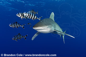 TG0138-D. Oceanic Whitetip Shark, high resolution download available for sale, contact Brandon Cole
