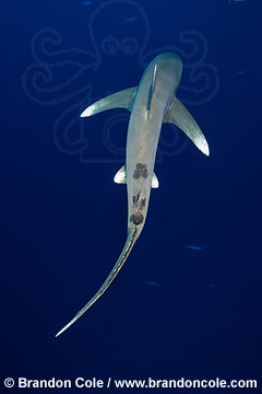 TG0888-D. powerful photograph of one Oceanic White-tipped Shark, created by Brandon Cole