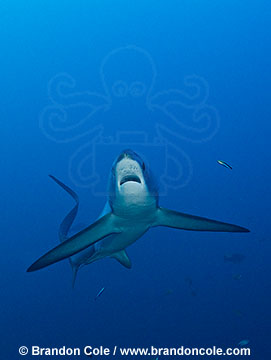 RA50123-D. Underwater stock picture of one Thresher Shark, by Brandon Cole.