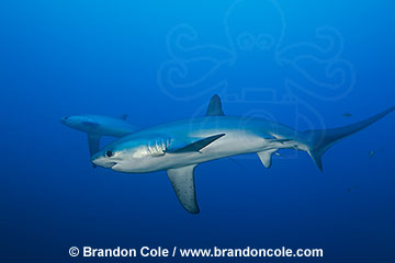 RA50145-D. digital image of two wild thresher sharks swimming in the tropical Pacific Ocean, owned by professional photographer Brandon Cole