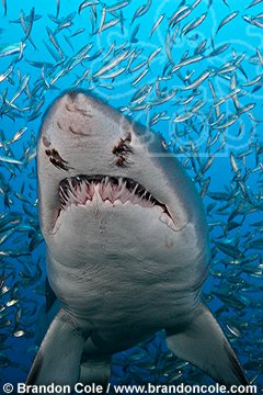 ph0052-D. Sand Tiger Shark (Carcharias taurus). North Carolina, USA, Atlantic Ocean. vertical format