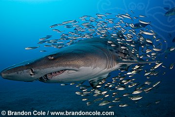 ph0102-D. Sand Tiger Shark (Carcharias taurus) with baitfish, near shipwreck. horizontal