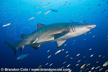 ph0155-D. Gray Nurse, or Ragged-tooth Shark. Photo Copyright Brandon Cole