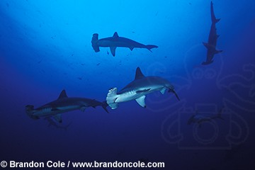 nf12. Scalloped Hammerhead Sharks, schooling