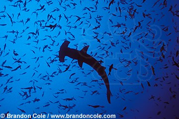 nf92. Scalloped Hammerhead Shark amidst fish, upward view