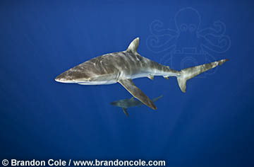 Brandon Cole Silky Shark hires digital underwater photograph available for licensing
