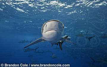 images of silkies and more than 20 other species of sharks by Brandon Cole Marine Photography, professional still photos from tropical and temperate oceans worldwide