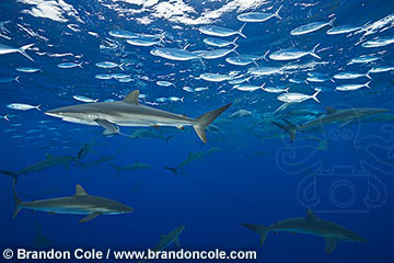 rare picture of feeding aggregation of Silky Sharks attacking dorado baitfish in Mexican waters, Copyright Brandon Cole