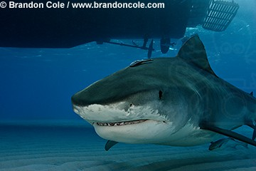 pa0641-D. Tiger Shark (Galeocerdo cuvier) with boat in background. Very dangerous species. Bahamas, Atlantic Ocean.