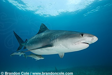 pk11120-D. Tiger Shark (Galeocerdo cuvier) side view portrait, digital high res original. Bahamas, Atlantic Ocean.