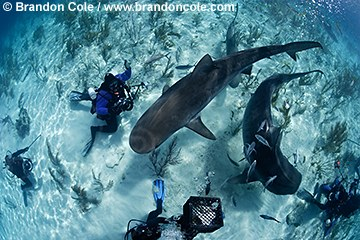 pk11377-D. Tiger Sharks (Galeocerdo cuvier) and scuba divers. Bahamas, Atlantic Ocean.