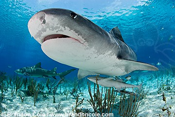 pk11704-D. close-up underwater photo of Tiger Shark (Galeocerdo cuvier). Atlantic Ocean.