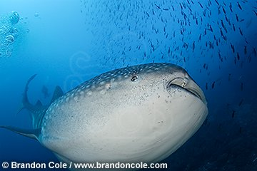 nu2042-D. Whale Shark, world's largest fish. Hires images available for download