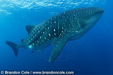 nu2069-D. Whale Shark, stock photograph from the Galapagos Islands
