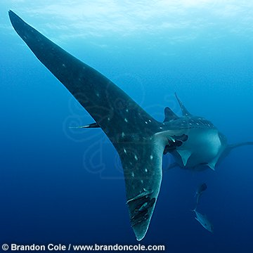 nu2104-D. Whale Shark, huge tail fin with remoras. Dramatic professional images for sale