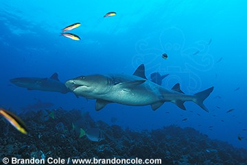 nd102. Whitetip Reef Shark, a relatively harmless elasmobranch species