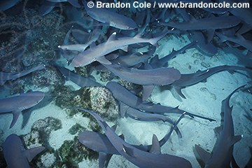 nf1. Whitetip Reef Sharks (Triaenodon obesus), hunting at night. Cocos Island, Costa Rica, Pacific Ocean.