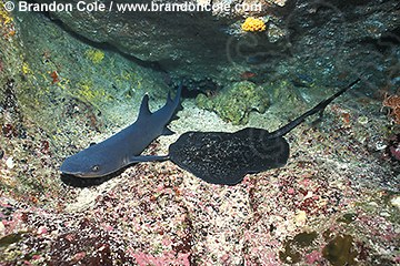 nf131. Whitetip Reef Shark, and marble ray