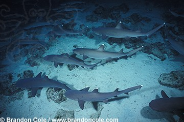 nf7. Whitetip Reef Sharks, hunting in a group at night