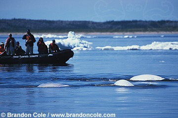 mr33. Beluga Whales (Delphinapterus leucas) and eco-tourists in whale-watching boat. Churchill River, Hudson Bay, Canadian Arctic.