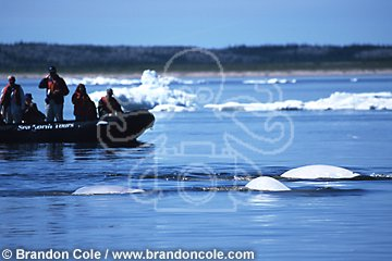 mr33. Beluga Whales, and whale-watching tourists