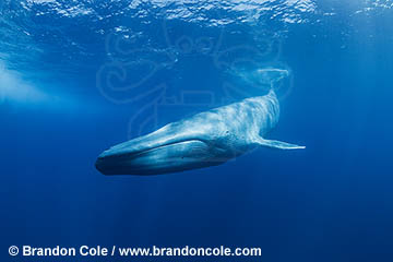 TC0147-D. Blue Whale (Balaenoptera musculus), rare underwater photograph, high resolution quality, copyright Brandon Cole Marine Photography