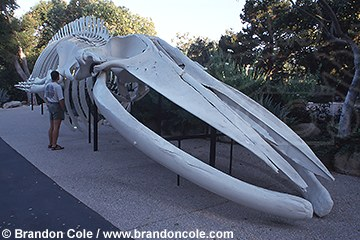 lz8. Blue Whale, skeleton, and model released person. Santa Barbara Museum, California.