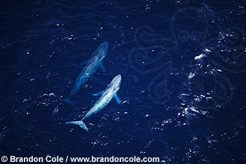 mq64. two Blue Whales, aerial view. Endangered species.