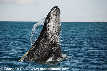 pr5272-D. gray whale calf breaching. Note how it is entangled in yellow fishing ropes