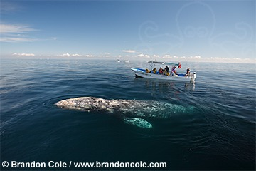 pr7016-D. California Gray Whale (Eschrichtius robustus), near boat with people whale watching.