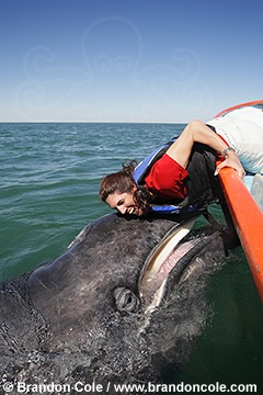 pr7123-D. Gray Whale calf, and happy female whale-watcher. Vertical portrait