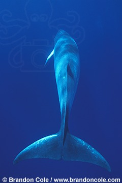 ne14. Dwarf Minke Whale shots for advertising and editorial use