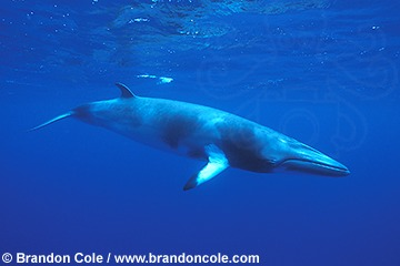 ne23. Minke Whale hires marine picture for sale