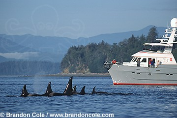 ly23. family sub pod of orca resting at surface next to boat with marine biologists