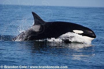 pt0991-D. The Ocean's apex predator, fast and intelligent, the unmistakable Orca or Killer Whale.