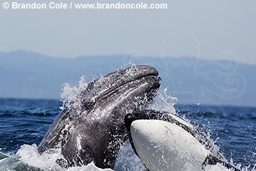 Photos d'orque et leurs proies - Page 5 Pt1296-D-orca_attacking_gray_whale_brandon_cole