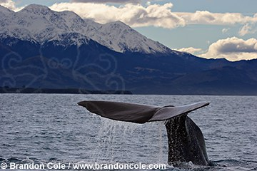 pd70393-D. Sperm Whale (Physeter macrocephalus) diving to feed. worldwide range