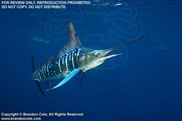 Marlin Fish Underwater | www.imgkid.com - The Image Kid ...