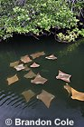 nu72655-D. Golden Cownose Rays (Rhinoptera steindachneri) swimming in mangroves, Galapagos Islands. Photo by Brandon Cole Copyright 2004.