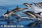 photo of Common Dolphins jumping