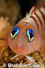 cute underwater photos of Blue-eyed Triplefin fish