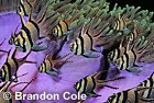 qp72613-D. Banggai Cardinalfish (Pterapogon kauderni) in front of Magnificent Sea Anemone (Heteractis magnifica), Indonesia. Photo Copyright © Brandon Cole. All Rights Reserved