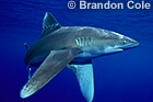 SHARKS and RAYS-  Great White Sharks, Bulls, Tigers, Hammerheads and Great Hammerheads, Reef Sharks, Manta Rays, Sting Rays, etc