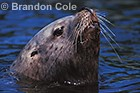 PINNIPEDS- Seals (N. and S. Elephant, Harbor, Harp, Bearded), Sealions (Australian, California, Steller), and Sea Otters