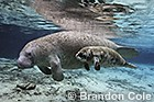 Florida Manatees, a subspecies of the West Indian manatee